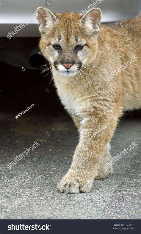 young mountain lion felis concolor stock photo
