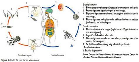 cadena epidemiologica treponema pallidum leishmaniasis p 225 gina 2 monografias