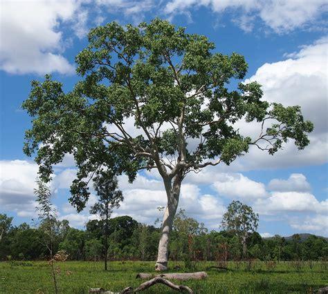 eucalyptus trees eucalyptus leptophleba