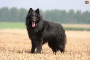 belgian sheepdog weight belgian shepherd dog dog breed information facts photos