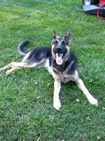 dogs like german shepherd german shepherd looks like my