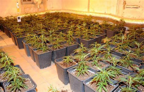 le culture indoor alfortville 900 pieds de cannabis d 233 couverts par la douane