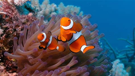 3d wallpaper water fish full hd wallpaper anemonefish underwater exotic fish