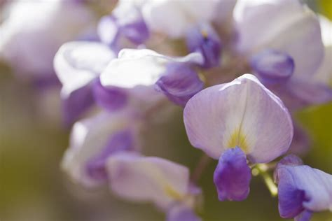 wisteria meaning wisteria flower meaning flower meaning