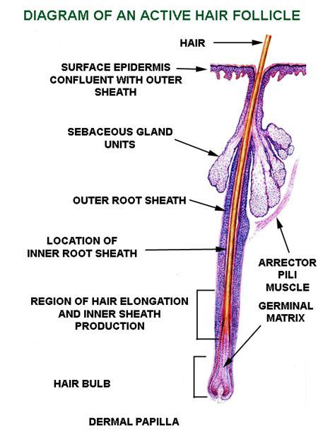 hair diagram hair follicle diagram labeled www pixshark images