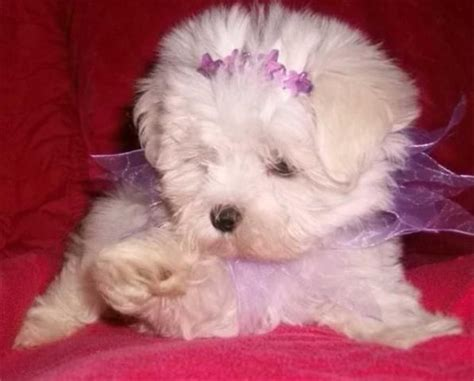 morkie puppies for sale oklahoma teacup morkie and maltipoo puppies from the u s for sale adoption from oklahoma