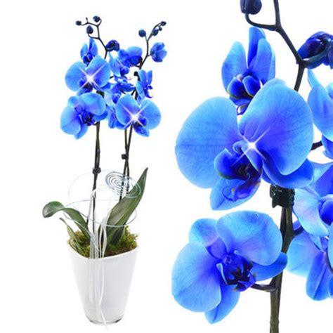 Orchideen Im Topf 2076 by Orchideen Im Topf Orchideen Im Topf H30cm Wei Rosa