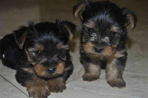 yorkies for sale in ga teacup yorkie puppies for sale in breeds picture