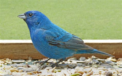 male indigo bunting on a tray feeder feederwatch
