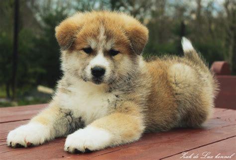 looking for free puppies akita inu puppy looking for owners akitu inu kucēni meklē saimniekus zak de
