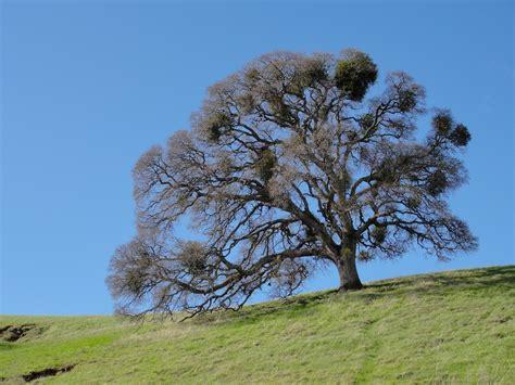 file valley oak mount diablo jpg wikimedia commons