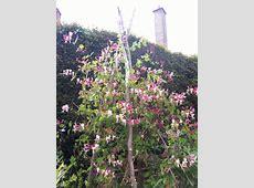 Honeysuckle on a rustic trellis | garden ideas on the go ... Enchanted Oasis