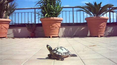 tartarughe da casa testudo agrionemys horsfieldii con casa per tartarughe di