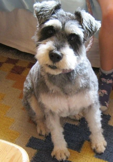 pictures of miniature schnauzer short haircutsures edging towards the good life or not my doggy dazzlers