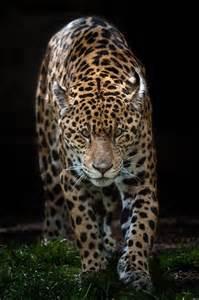 Jaguar Stalking Stalking Jaguar Animal It