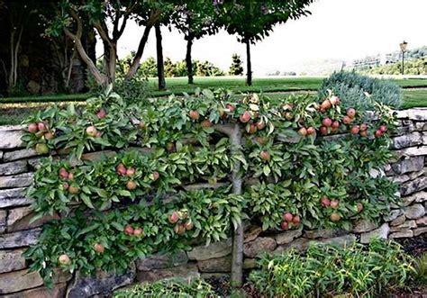 espalier fruit trees espalier fruit tree step by step espalier directions