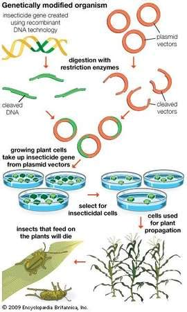 Modified Organism Definition by Genetically Modified Organism Definition Exles