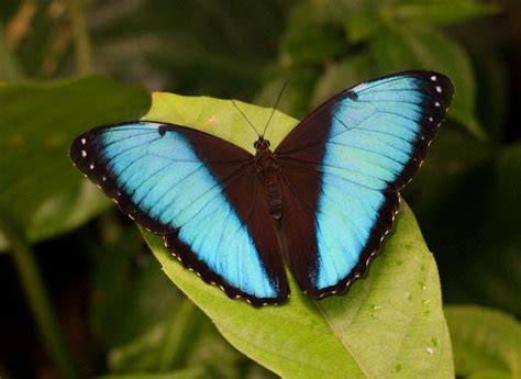 all tropical rainforests animals search results insectanatomy 17 best images about butterflies morpho achilles banded