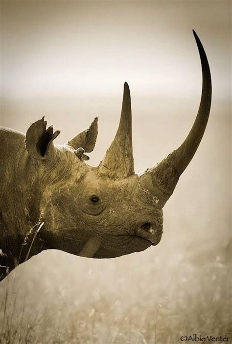top  differences    rhino species top inspired