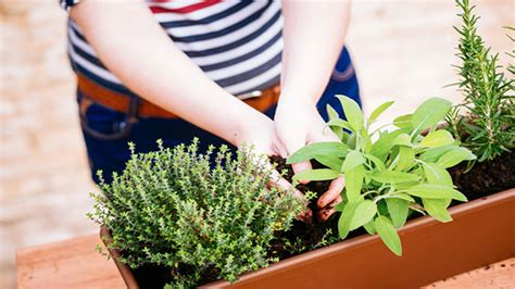 piante ricanti da terrazzo piante da balcone piante da balcone sempreverdi piante
