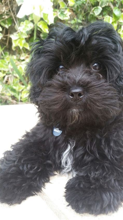 black maltipoo puppies 25 best ideas about black maltipoo on labradoodle puppies fluffy