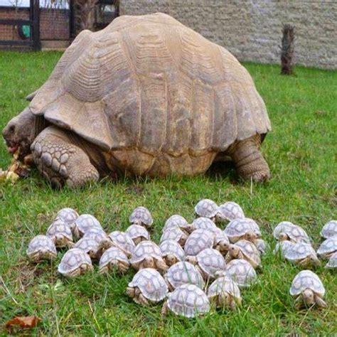 25 best ideas about tortoise on baby tortoise