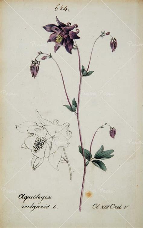 columbine flower tattoo 1826 aquilegia vulgaris european columbine botanical