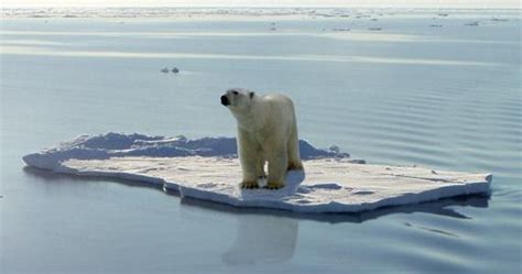 Polar Extinction Essay by Essay On Polar Bears And Global Warming College Paper Academic Service