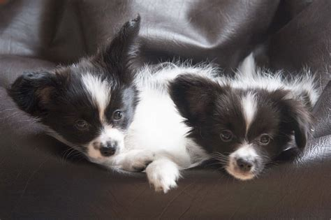 papillon puppies for sale adorable papillon puppies for sale leeds west pets4homes