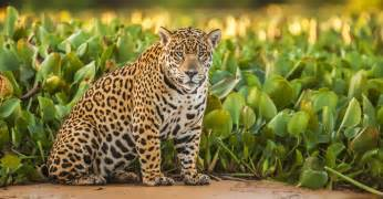 Jaguars In The United States Meet El Jefe The Only Known Jaguar Living In The United