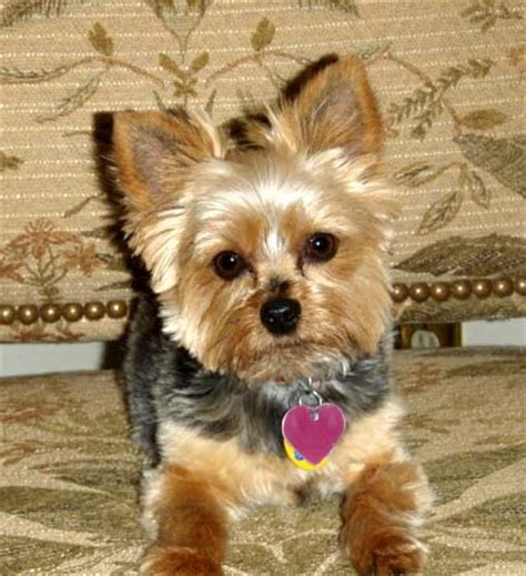 yorkie and small rescue darcy s web page