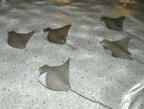 baby shark zoo stingrays at caribbean cove presented by mercy kids