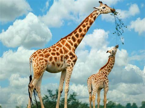 imagenes de las jirafas de darwin 5 la evoluci 243 n de las jirafas brev 237 sima introducci 243 n a la