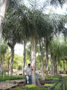 Fruit Trees In Phoenix - quality growers inc mature queen palms
