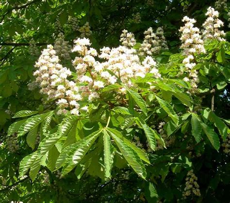 chestnut bud fiori di bach chestnut bud fiore di bach cosa 232 e a cosa serve