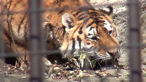 tiger tiger essential modern 17 02 多摩動物公園 アムールトラのアルチョム youtube