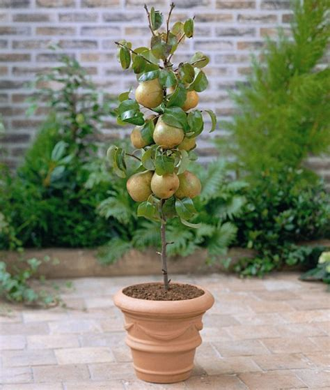cost of fruit trees a partridge in a dear tree forking out for twelve days of