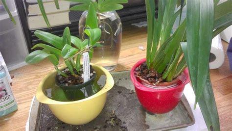 Come Bagnare Orchidee by Orchidee Piante Da Interno Cura Orchidee Come Curare