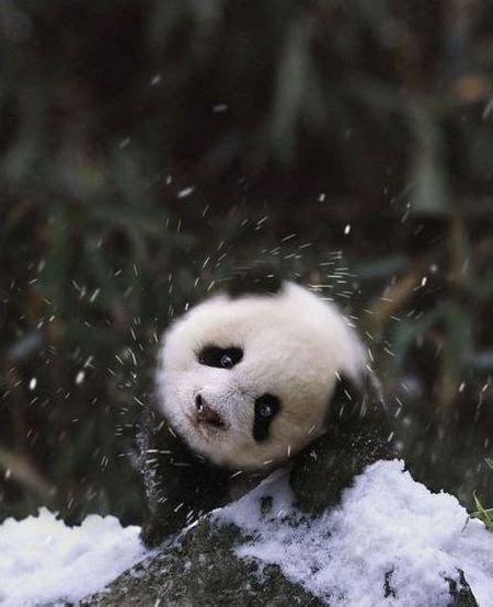 wallpaper panda hitam putih hitam putih panda family