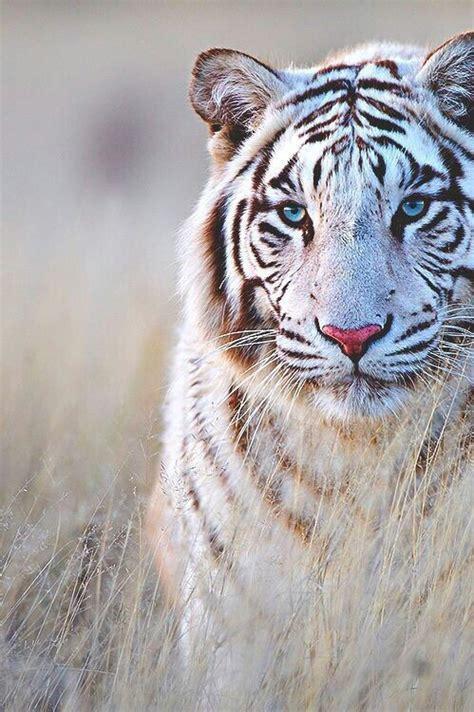 wallpaper tumblr tiger white tiger on tumblr