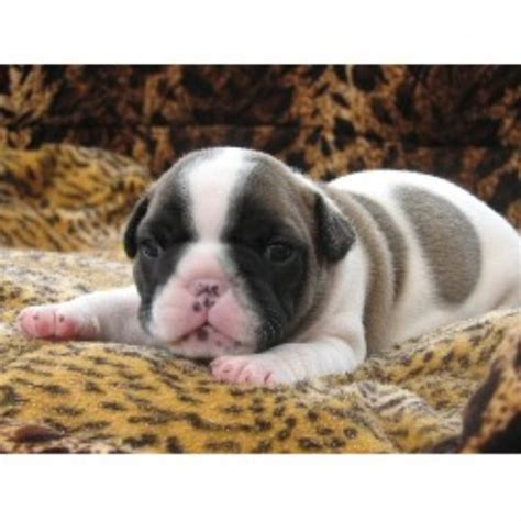 cape cod bulldogs bulldog breeder in - Puppies For Sale On Cape Cod