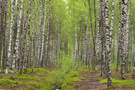 photo 941 10 birch forest in sosnovka park st petersburg russia