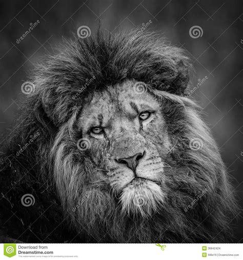 imagenes de leones a blanco y negro ritratto del leone in bianco e nero fotografia stock
