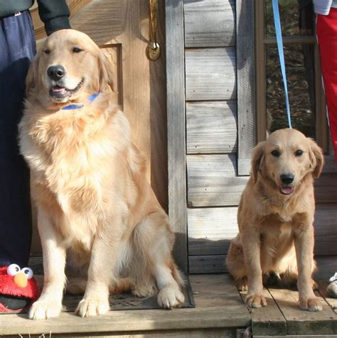 comfort retriever puppies for sale 17 best images about dogs on adoption miniature and coat patterns