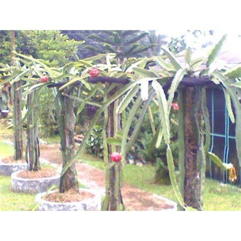 Pupuk Untuk Bunga Buah Naga jual tanaman buah naga jual bibit buah naga jual benih