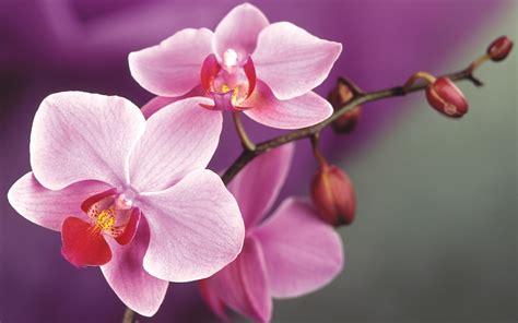 orchid flower wallpaper 1920x1200 23338