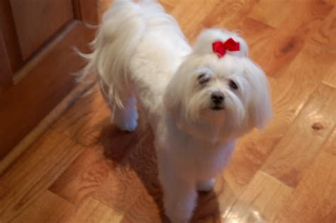 different maltese haircuts morkie hair styles platinumofficellc cute maltese