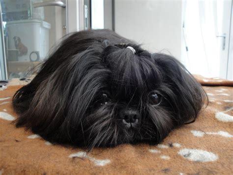 shih tzu black shih tzu shih tzus born 8 2 10 breed info center breeds picture