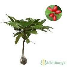Benih Miracle Fruit Miracle Berry jual bibit tanaman blueberry 50 60 cm hidup bibitbunga