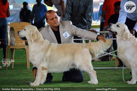 westminster golden retriever 2016 golden retriever show golden retriever speciality ooty 2016 95 shows